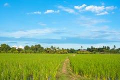 Paisaje del cielo azul de la hierba verde del campo del arroz Imagen de archivo