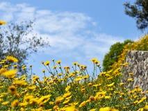 Paisaje del cielo azul y de manzanillas amarillas en prado Foto de archivo libre de regalías