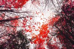 Paisaje del cielo del otoño con los árboles amarilleados del otoño que extienden al cielo Foto de archivo