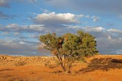 Paisaje del desierto con el árbol de la espina Imagen de archivo