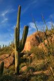 Paisaje del desierto y cacto del Saguaro imagenes de archivo