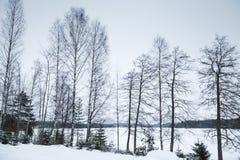 Paisaje del invierno, árboles de abedul desnudos Fotos de archivo libres de regalías
