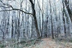 Paisaje del invierno Árboles en la estación de Forest Cold de la escarcha Imagen de archivo