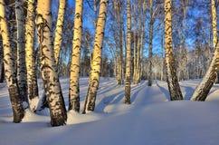 Paisaje del invierno - bosque del abedul en la luz de oro de la puesta del sol Imagen de archivo libre de regalías