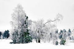 Paisaje del invierno con el árbol de abedul Imágenes de archivo libres de regalías