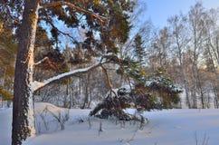 Paisaje del invierno con el árbol de pino nevado Foto de archivo libre de regalías