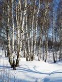 Paisaje del invierno con el abedul blanco Foto de archivo