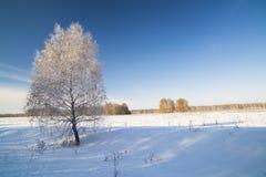 Paisaje del invierno con el abedul nevado Foto de archivo