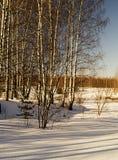 Paisaje del invierno con el abedul por la arboleda Imagen de archivo libre de regalías