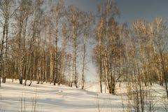 Paisaje del invierno con el abedul por la arboleda Imagen de archivo