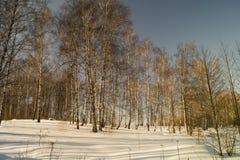 Paisaje del invierno con el abedul por la arboleda Imagenes de archivo