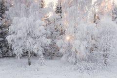 Paisaje del invierno con el bosque y el sol Blanco como la nieve hermoso, cubierto con escarcha, abedul Forest Sun, abedul nevado Fotos de archivo libres de regalías