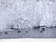 Paisaje del invierno con el río y el ducks-2 flotante Fotos de archivo