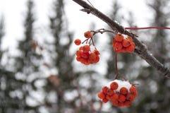 Paisaje del invierno con la ceniza de montaña en la nieve Foto de archivo libre de regalías