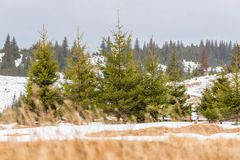 Paisaje del invierno con los árboles de pino Fotos de archivo