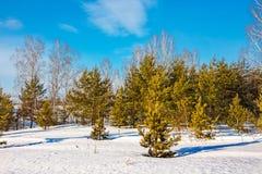 Paisaje del invierno con los abedules y los pinos jovenes Foto de archivo libre de regalías