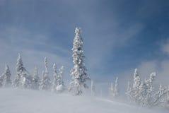Abetos Nevado Fotos de archivo libres de regalías