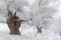Paisaje del invierno con los sauces blancos cubiertos con helada Foto de archivo libre de regalías