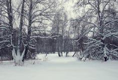 Paisaje del invierno con un bosque del abedul después de nevadas Imagen de archivo