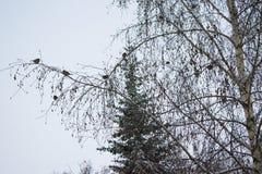 Paisaje del invierno de los árboles de abedul Imagen de archivo libre de regalías