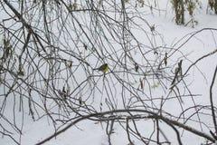 Paisaje del invierno de los árboles de abedul Foto de archivo libre de regalías