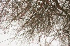 Paisaje del invierno de los árboles de abedul Foto de archivo