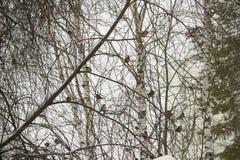 Paisaje del invierno de los árboles de abedul Fotos de archivo libres de regalías