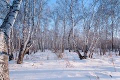 Paisaje del invierno del bosque del abedul, Rusia Fotos de archivo