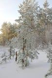 Paisaje del invierno en bosque con los pinos Fotografía de archivo