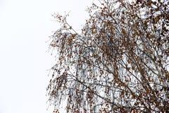 Paisaje del invierno en día melancólico con las ramas del abedul borrosas en th Fotografía de archivo