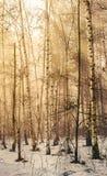 Paisaje del invierno en el bosque del álamo temblón Fotos de archivo libres de regalías