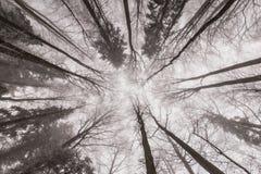 Paisaje del invierno en el bosque con los árboles y la niebla de abedul Imagen de archivo libre de regalías