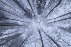 Paisaje del invierno en el bosque con los árboles y la niebla de abedul Fotografía de archivo libre de regalías