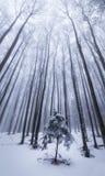 Paisaje del invierno en el bosque con los árboles y la niebla de abedul Fotos de archivo