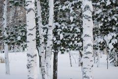 Paisaje del invierno en el parque del abedul Fotos de archivo libres de regalías