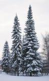 Paisaje del invierno en el parque del abedul Fotografía de archivo libre de regalías