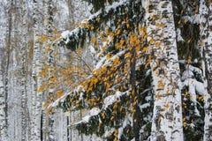 Paisaje del invierno en el parque del abedul Imagen de archivo libre de regalías