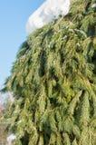 Paisaje del invierno En las ramas de la picea hay accu grande Fotografía de archivo