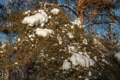 Paisaje del invierno En las ramas de la picea hay accu grande Foto de archivo