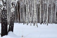 Paisaje del invierno en una arboleda del abedul Imagen de archivo libre de regalías