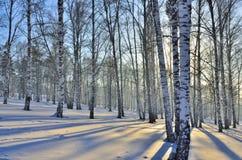Paisaje del invierno - puesta del sol en la arboleda del abedul Foto de archivo