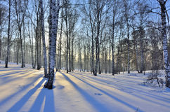 Paisaje del invierno - puesta del sol en la arboleda del abedul Imagen de archivo