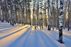 Paisaje del invierno - puesta del sol en la arboleda del abedul Fotos de archivo libres de regalías