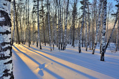 Paisaje del invierno - puesta del sol en la arboleda del abedul Fotografía de archivo libre de regalías