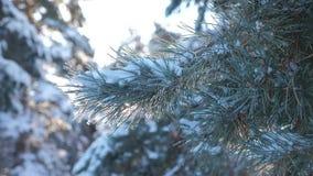 Paisaje del invierno del resplandor de la luz del sol del árbol de pino de la rama durante puesta del sol Pino del invierno el bo metrajes