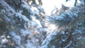 Paisaje del invierno del resplandor de la luz del sol del árbol de pino de la rama durante puesta del sol Pino del invierno el bo almacen de video