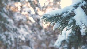 Paisaje del invierno del resplandor de la rama de la luz del sol del árbol de pino durante puesta del sol Pino del invierno el bo metrajes