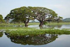 Paisaje del lago - árboles gigantescos con la reflexión del agua Imagen de archivo libre de regalías