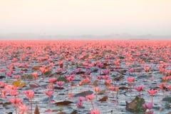 Paisaje del mar rojo famoso del loto en Tailandia foto de archivo