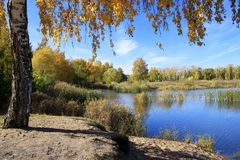 Paisaje del otoño - abedul del oro cerca de la charca Fotos de archivo